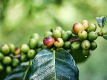 Bagas de café frescas no ramo Fotos de Stock
