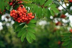 Bagas de Rowan em uma árvore & em um x28; sorbus& x29; imagem de stock royalty free