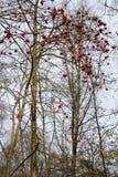 Bagas de Rowan em uma árvore no outono imagens de stock royalty free