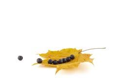Bagas de Rowan nas folhas de bordo do outono apresentadas em uma linha em um whi Imagem de Stock Royalty Free