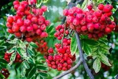Bagas de Rowan que crescem na árvore foto de stock royalty free
