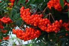 Bagas de Rowan vermelhas Imagem de Stock Royalty Free