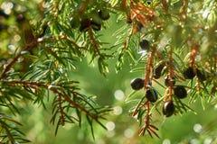 Bagas de zimbro que crescem no ramo de árvore sob a luz solar bonita imagens de stock