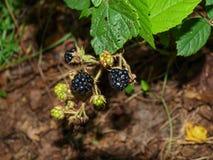 Bagas deliciosas da amora-preta Foto de Stock