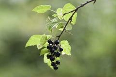 Bagas do corinto preto em um arbusto imagem de stock royalty free