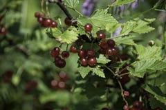 Bagas do corinto preto em um arbusto fotografia de stock royalty free