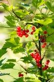Bagas do corinto vermelho em um arbusto no jardim Redcurrant em um close-up do ramo fotos de stock royalty free