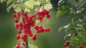 Bagas do corinto vermelho em um dia ensolarado claro A fonte de vitaminas fotos de stock royalty free