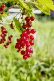 Bagas do corinto vermelho em um ramo Imagens de Stock Royalty Free
