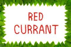 Bagas do corinto vermelho no fundo branco Fonte do fruto, letras Quadro das folhas Imagens de Stock Royalty Free