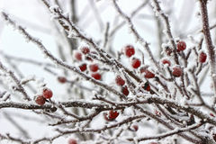 Bagas do espinho sob nevadas fortes e gelo Fotos de Stock Royalty Free