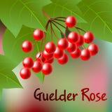 Bagas do Viburnum vermelho com as folhas no contexto abstrato Vetor Imagens de Stock Royalty Free