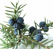 Bagas do zimbro (juniperus communis). fotos de stock royalty free