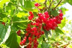 Bagas doces vermelhas no jardim do verão Fotografia de Stock