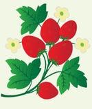 Bagas e flores da morango Imagem de Stock