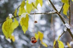 Bagas e folhas borradas do outono da natureza do fundo contra a primeira neve imagem de stock