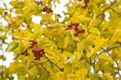 Bagas e folhas vermelhas do amarelo Fotografia de Stock Royalty Free