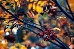 Bagas e ramos de Rowan do outono (aucuparia do Sorbus) Fotos de Stock Royalty Free