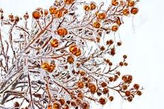 Bagas geladas dos ramos de árvore Foto de Stock