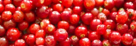 Bagas maduras frescas da airela como o fundo Imagem de Stock Royalty Free