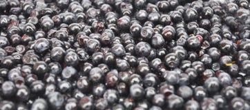 Bagas maduras maduras suculentas da uva-do-monte Fundo da uva-do-monte da baga imagem de stock royalty free