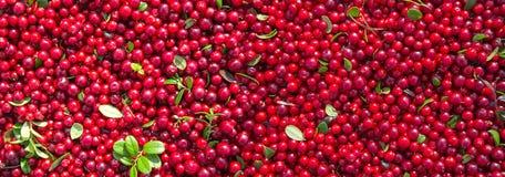 Bagas maduras vermelhas de uma airela com folhas verdes Foto de Stock Royalty Free