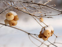 Bagas no inverno sob a geada Fotos de Stock