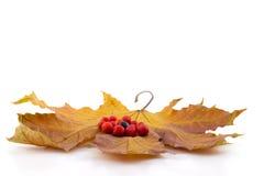 Bagas pretas e vermelhas de uma cinza de montanha nas folhas de outono do bordo Imagem de Stock