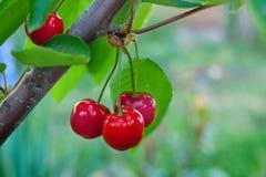 Bagas suculentas maduras das cerejas em ramos do tree_ Fotos de Stock