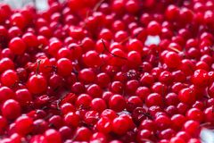Bagas suculentas maduras do corinto vermelho Foto horizontal foto de stock royalty free