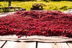 Bagas vermelhas Imagem de Stock Royalty Free