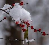 Bagas vermelhas após a tempestade da neve Contraste branco contra o vermelho fotos de stock