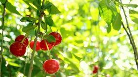 Bagas vermelhas bonitas da cereja e folhas verdes Bokeh piscar dos sopros do vento Dia ensolarado bonito na floresta filme