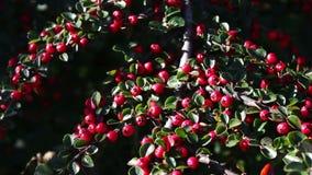Bagas vermelhas bonitas no arbusto video estoque