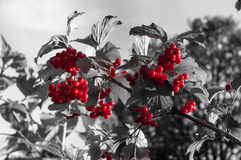 Bagas vermelhas brilhantes Fotos de Stock Royalty Free