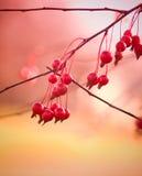 Bagas vermelhas brilhantes Imagens de Stock Royalty Free