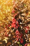 Bagas vermelhas brilhantes da bérberis - no berberis latino na árvore sob a luz ensolarada Imagem de Stock Royalty Free