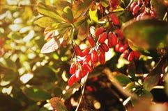 Bagas vermelhas brilhantes da bérberis - no berberis latino na árvore sob a luz solar Imagens de Stock Royalty Free