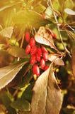 Bagas vermelhas brilhantes da bérberis - no berberis latino na árvore sob a luz solar Fotos de Stock
