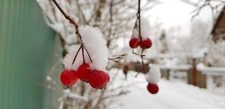 Bagas vermelhas brilhantes do espinho cobertas com a neve branca em uma rua nevado da vila em um dia de inverno gelado fotos de stock