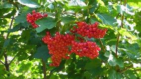 Bagas vermelhas brilhantes do viburnum entre as folhas verdes, opinião do close up video estoque