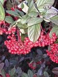 Bagas vermelhas brilhantes na árvore imagens de stock royalty free