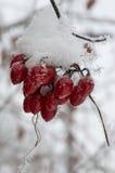 Bagas vermelhas cobertos de neve em uma videira secada Fotografia de Stock