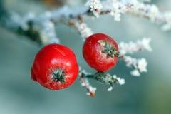 Bagas vermelhas da árvore de Rowan cobertas com a geada Foto de Stock