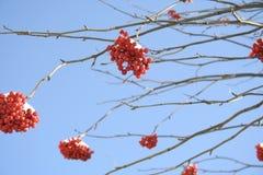 Bagas vermelhas da árvore de Rowan no fundo claro do céu azul imagens de stock royalty free
