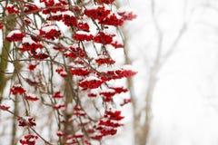 Bagas vermelhas da cinza de montanha, cobertas com a neve em um dia de inverno imagem de stock