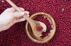 Bagas vermelhas da uva-do-monte Fotos de Stock Royalty Free