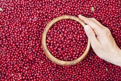 Bagas vermelhas da uva-do-monte Imagens de Stock