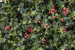 Bagas vermelhas de Holly Plant Christmas Background With fotos de stock royalty free