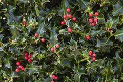 Bagas vermelhas de Holly Plant Christmas Background With fotografia de stock
